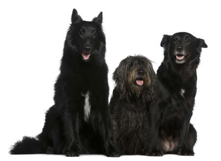 Two Belgian shepherd dogs and a Mixed-breed dog, 5 years old and  11 and a half years old, sitting in front of white background photo