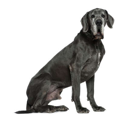 Great Dane, 6 years old, sitting in front of white background photo