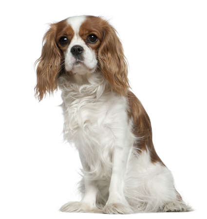 cavalier king charles spaniel: Cavalier King Charles Spaniel, 2 years old, sitting in front of white background Stock Photo