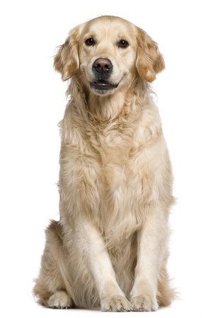 labrador retriever: Labrador Retriever, 4 a�os de edad, sentado frente a fondo blanco