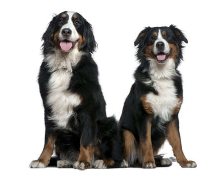 Two Bernese mountain dogs, 14 months and 6 years old, sitting in front of white background photo