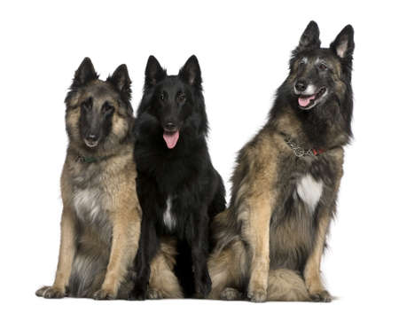 white shepherd dog: Two Belgian Shepherd dogs, Tervuren, and a Belgian Shepherd dog, Groenendael, 7 years, 2 years, and 4 years old, sitting in front of white background