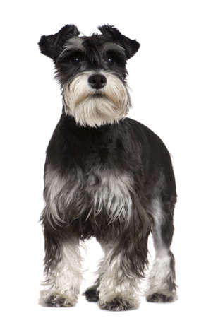 Miniature Schnauzer, 10 months old, standing in front of white background photo