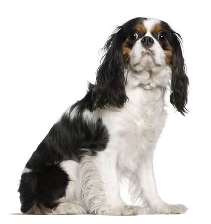 cavalier king charles spaniel: Cavalier King Charles Spaniel, 3 years old, sitting in front of white background