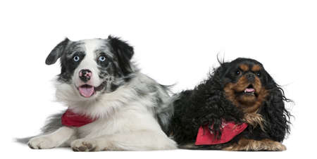 Border collie and Cavalier King Charles Spaniel, 11 months old and 4 years old, lying in front of white background photo