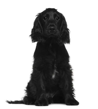 English Cocker Spaniel, 5 months old, sitting in front of white background photo