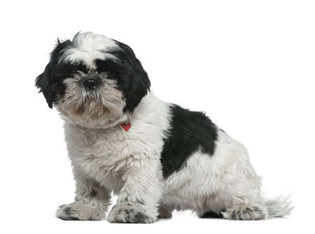 shih: Shih Tzu, 1 year old, sitting in front of white background