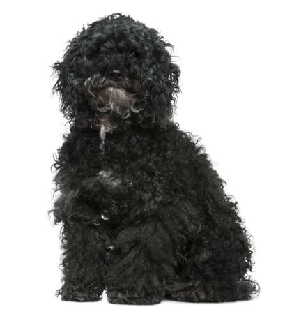 Maltese dog mixed with a Poodle, 11 years old, sitting in front of white background photo