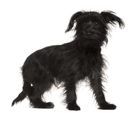 shihtzu: Shih-Tzu mixed with a Yorkshire Terrier, 5 months old, standing in front of white background Stock Photo