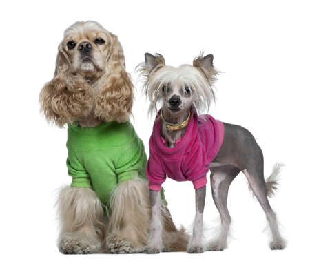 american cocker spaniel: Dressed American Cocker Spaniel and Chinese Crested dog, 3 years old and 7 months old, in front of white background