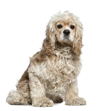 American Cocker Spaniel, 3 years old, sitting in front of white background photo
