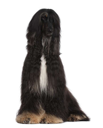 Afghan Hound, 4 years old, sitting in front of white background photo