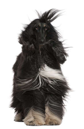 Afghan Hound with his hair in the wind, 4 years old, sitting in front of white background photo