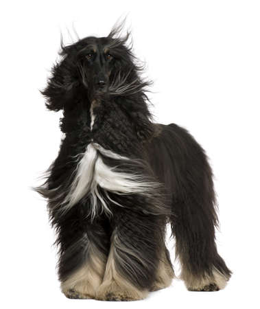 hound: Afghan Hound with his hair in the wind, 4 years old, standing in front of white background