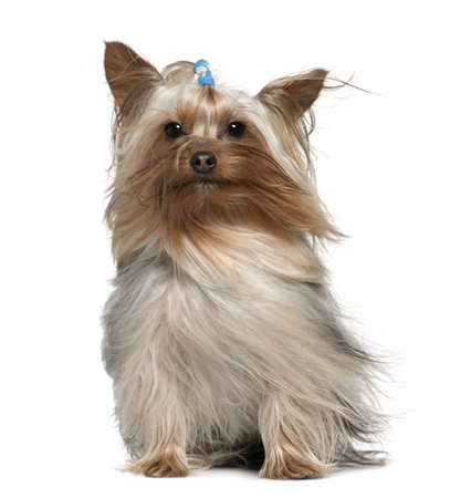 Yorkshire terrier with hair in the wind, 1 and a half years old, sitting in front of white background photo