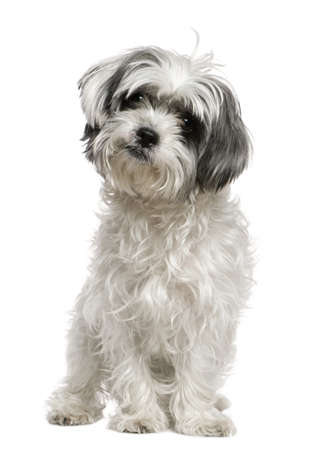 maltese dog: Maltese dog mixed with a Shih Tzu, 3 years old, sitting in front of white background