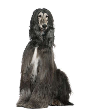 afghan: Afghan hound, 7 years old, sitting in front of white background