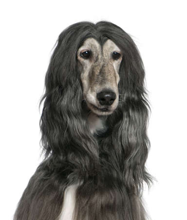 Close-up of Afghan hound, 7 years old, in front of white background photo