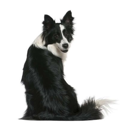 sit shape: Border Collie, 16 months old, sitting in front of white background