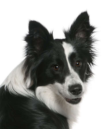 Close-up of Border Collie, 16 months old, in front of white background photo