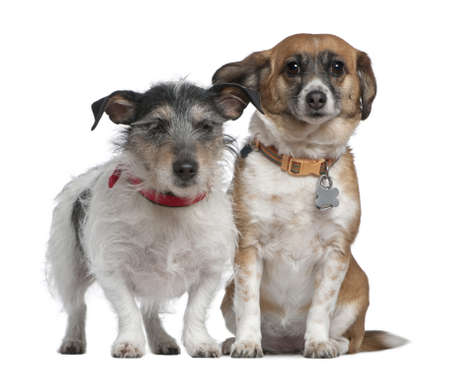 7 8 years: Jack Russell Terrier and Mixed-breed dog, 7 years old and 8 years old, in front of white background