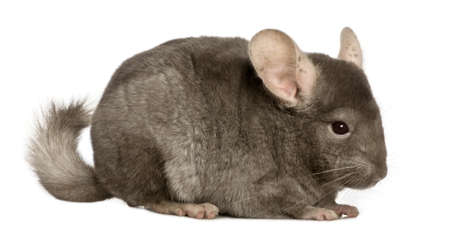 chinchilla: Chinchilla, 1 year old, in front of white background