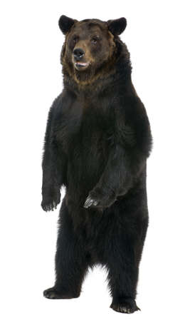 brown bear: Female Brown Bear, 12 years old, standing in front of white background