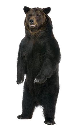 oso: Mujeres oso pardo, de 12 a�os, de pie delante de fondo blanco