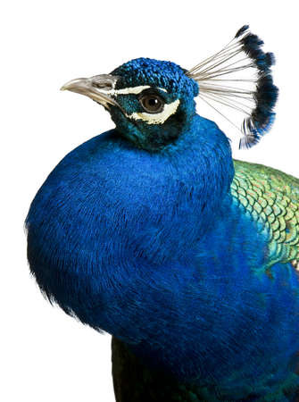 common peafowl: Close-up of Male Indian Peafowl in front of white background Stock Photo