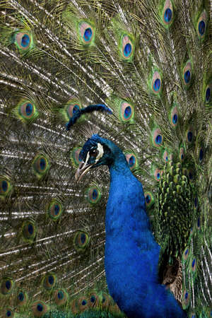 common peafowl: Close-up of Male Indian Peafowl displaying tail feathers Stock Photo