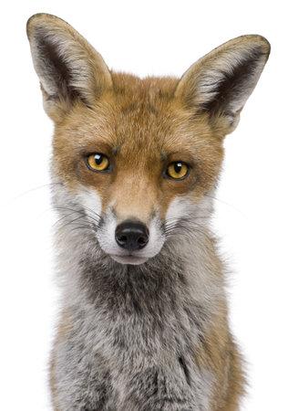 volpe rossa: Primo piano del volto di Close-up di Red Fox, 1 anno di et�, davanti a sfondo bianco