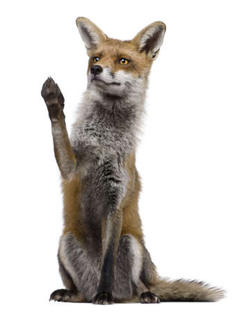Red Fox, 1 year old, sitting with paw raised in front of white background Stock Photo - 7121267