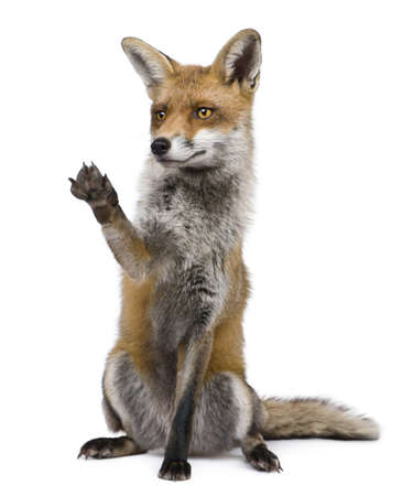 reaching out: Red Fox, 1 year old, sitting with paw raised in front of white background