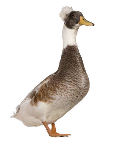 crested duck: Male Crested Duck, 3 years old, standing in front of white background Stock Photo