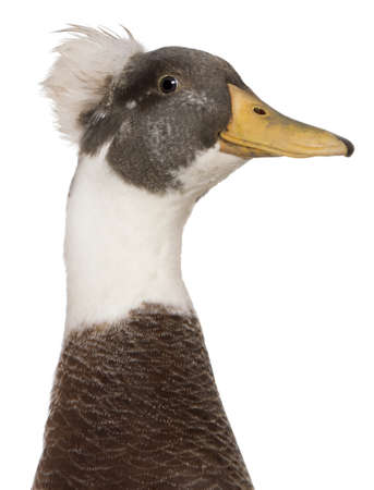 crested duck: Close-up headshot of Male Crested Duck, 3 years old, standing in front of white background