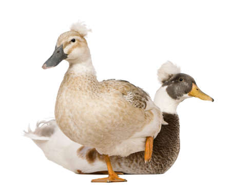 crested duck: Male and Female Crested Duck, 3 years old, standing in front of white background Stock Photo