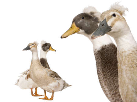 crested duck: Close-up headshot of Male and Female Crested Ducks, 3 years old, standing in front of white background