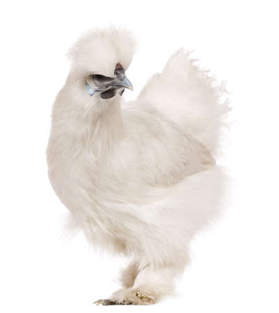 phasianidae: White Silkie chicken, 6 months old, standing in front of white background