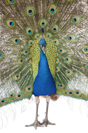 common peafowl: Front view of Male Indian Peafowl displaying tail feathers Stock Photo