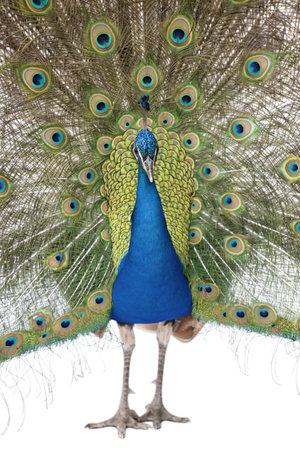 peacock wheel: Vista frontale del maschio indiano pavoni, visualizzando le penne della coda Archivio Fotografico