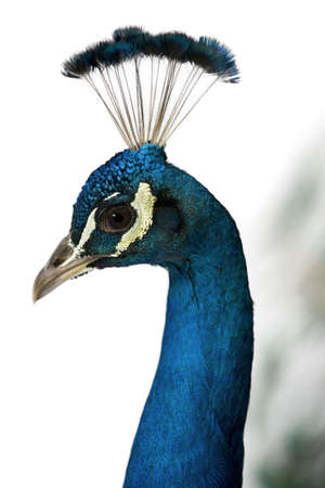 Close-up of Male Indian Peafowl in front of white background Stock Photo - 7121188