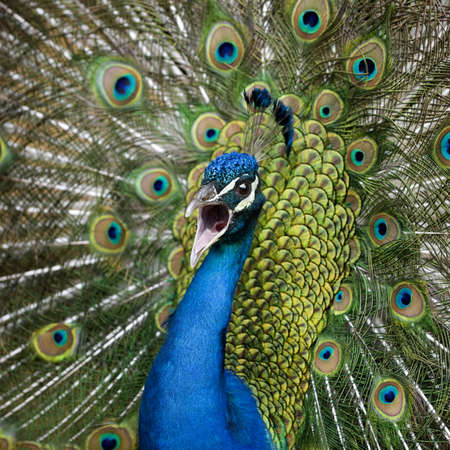 peacock wheel: Close-up of Male Indian Peafowl displaying tail feathers Stock Photo