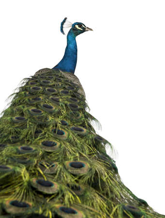 Rear view of a male Indian Peafowl in front of white background photo
