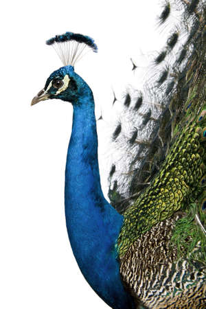peacock wheel: Profile of Male Indian Peafowl in front of white background