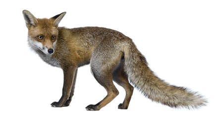 fox: Red Fox, 1 year old, standing in front of white background