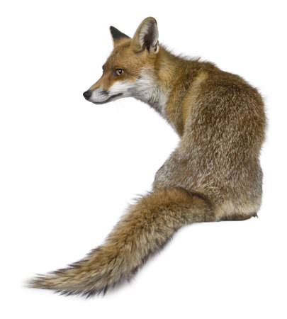 fox: Rear view of Red Fox, 1 year old, sitting in front of white background