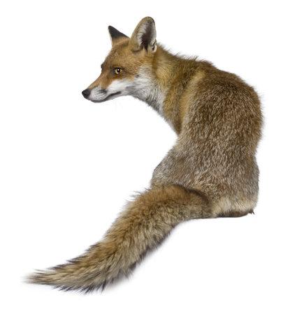 volpe rossa: Vista posteriore del Red Fox, 1 anno di et�, seduto davanti a sfondo bianco