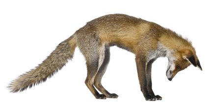 volpe rossa: Vista laterale del Red Fox, 1 anno di et�, in piedi davanti a sfondo bianco  Archivio Fotografico
