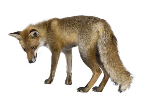 1 year old: Side view of Red Fox, 1 year old, standing in front of white background