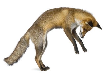jumping: Vista lateral de zorro rojo, 1 año de edad, de pie sobre las patas traseras en frente de fondo blanco
